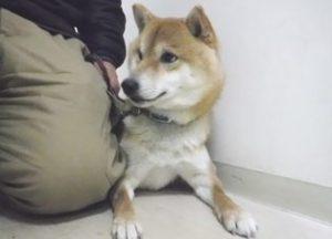 柴犬のサスケさん・・保護しました。里親募集☆彡