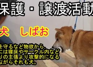 保護中の柴犬しばおくん 攻撃的な犬だっています!